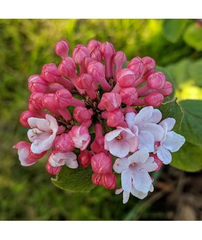 Viburnum carlesii Aurora (3lt)