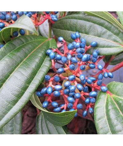 Viburnum davidii (female) (3lt)