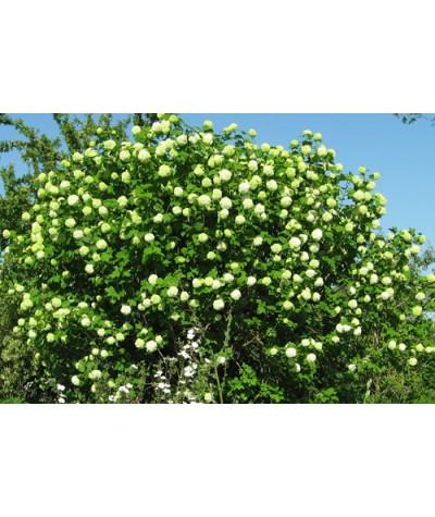 Viburnum opulus Roseum (7.5lt)