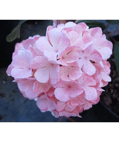 Viburnum plicatum Mary Milton (5lt)
