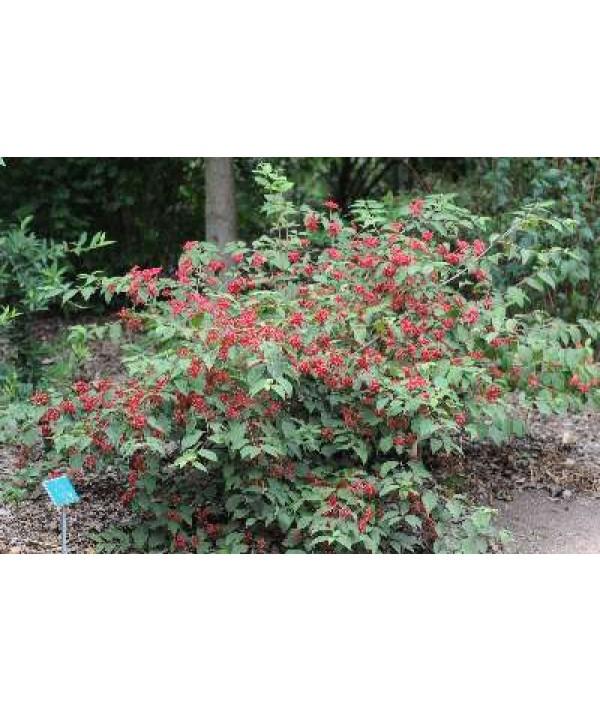 Viburnum plicatum tomentosum Pink Beauty (2lt)