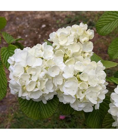 Viburnum plicatum Popcorn (7.5lt)