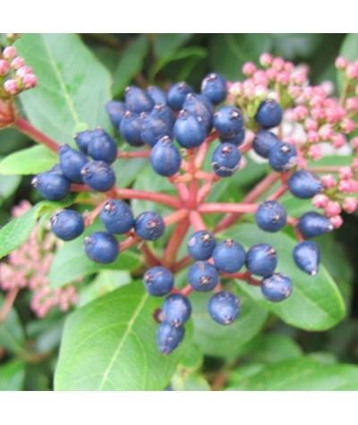 Viburnum tinus Eve Price (3lt)
