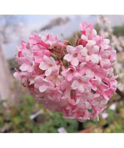 Viburnum x bodnantense Dawn (2lt)