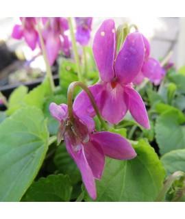 Viola odorata Miracle Classy Pink (1.5lt)