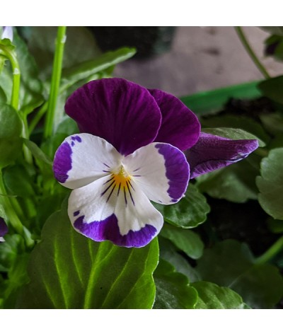 Viola White with Purple Wing 6 Pack