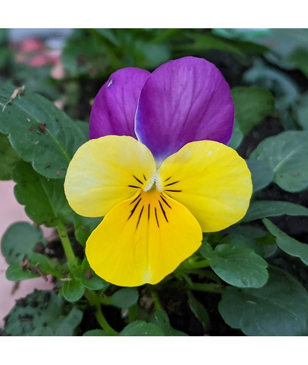 Viola Yellow with Pink Wing 6 Pack