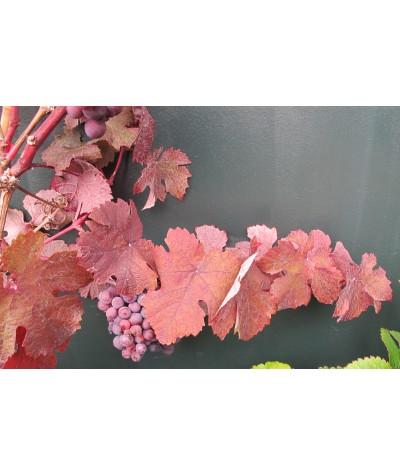 Vitis vinifera Purpurea (10lt)