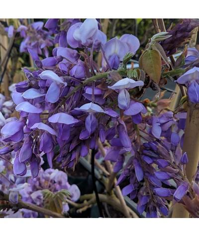 Wisteria brachybotrys Ikojama-fuji (10lt)