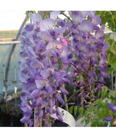 Wisteria sinensis Prolific (7.5lt)