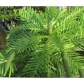Wollemia nobilis (7.5lt)