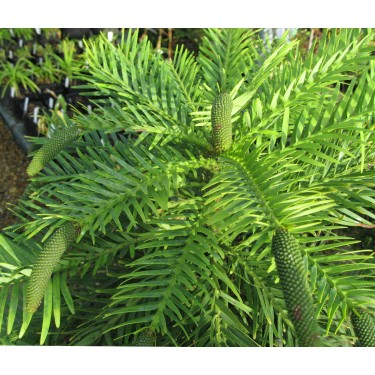 Stories from langthorns - Wollemia nobilis
