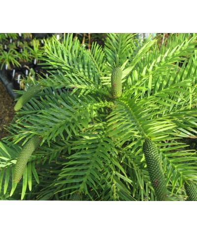 Wollemia nobilis (3lt)