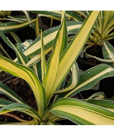 Yucca filamentosa Color Guard   (3lt)