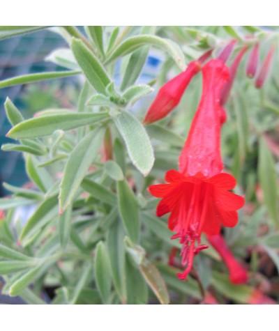 Zauschneria californica Dublin (2lt)