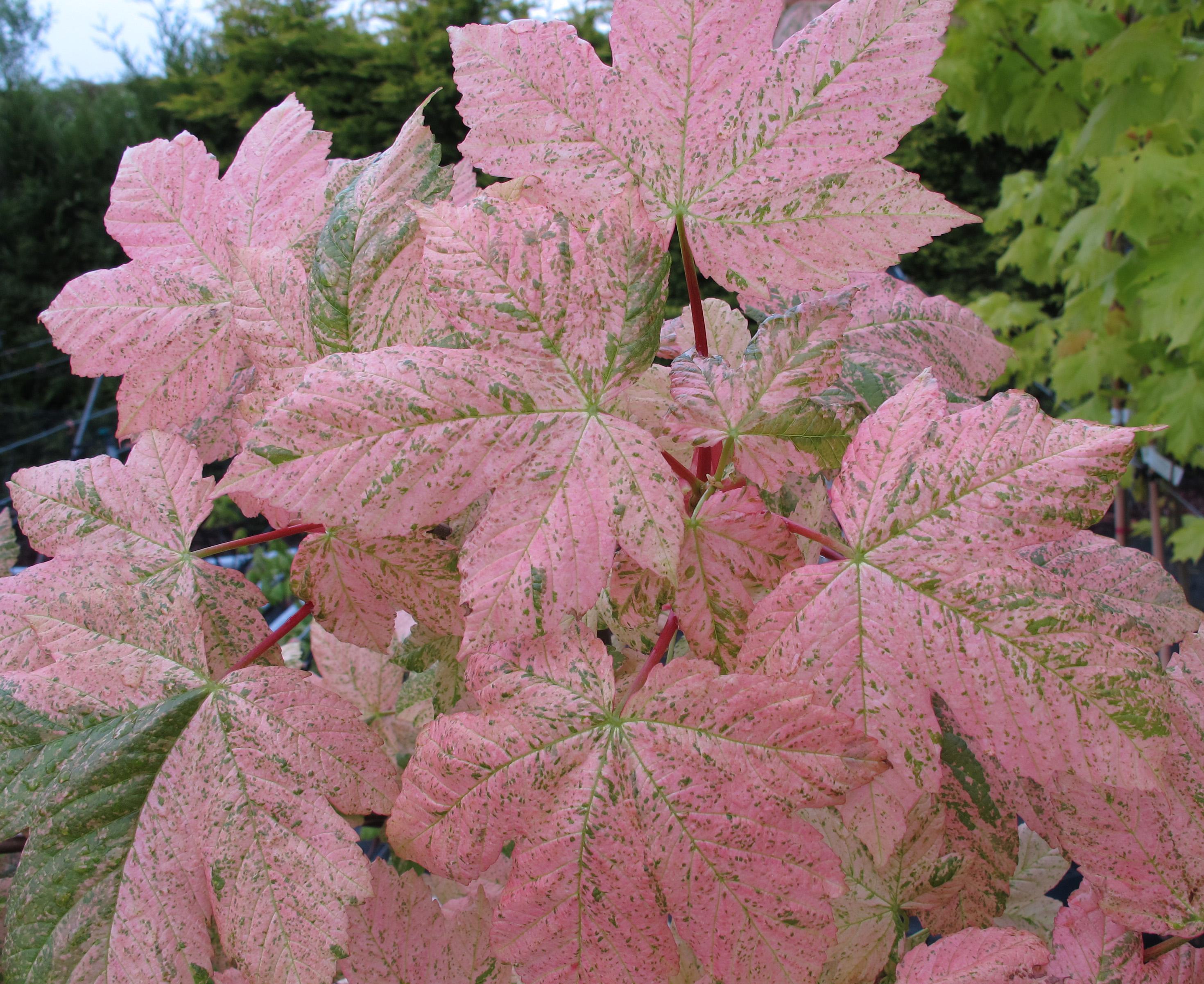 Acer Pseudoplatanus Variegatum Esk Sunset 35lt