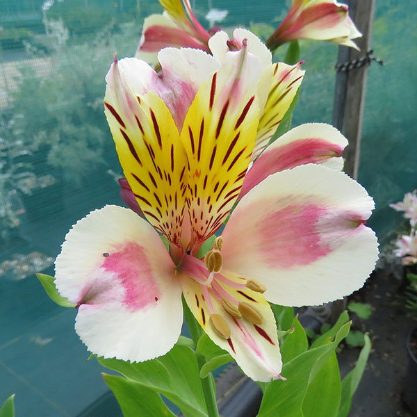 Stories from Langthorns - Alstroemeria