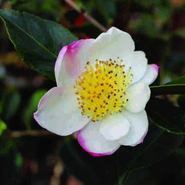 Stories from Langthorns - Camellia sasanqua