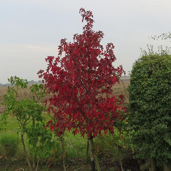 Trees for Superb Autumn Interest