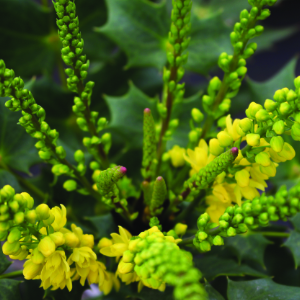 Stories from Langthorns - Mahonia