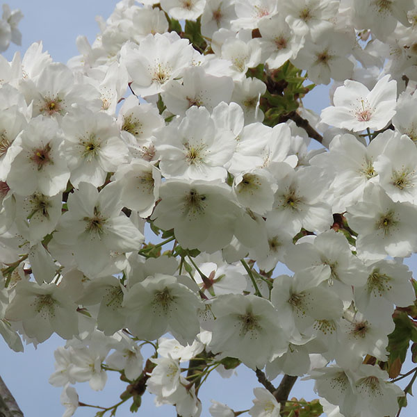 Stories from Langthorns - Prunus serrulata 'Tai-Haku'